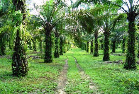 Minyak Kelapa Sawit Di Malaysia tanah pamah