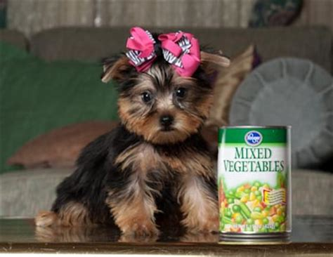 blue eyed yorkie well trained blue yorkie puppies ready for home interested family should