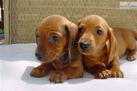 dachshund puppies for sale in mn dachshund mini for sale for 400 near mankato minnesota e90fdc70 8111