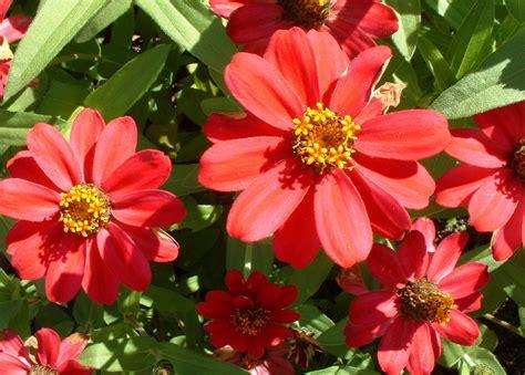 zinnia fiore file zinnia up jpg