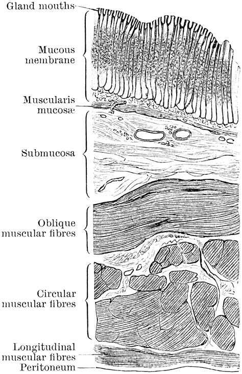 sections of stomach section through stomach wall clipart etc