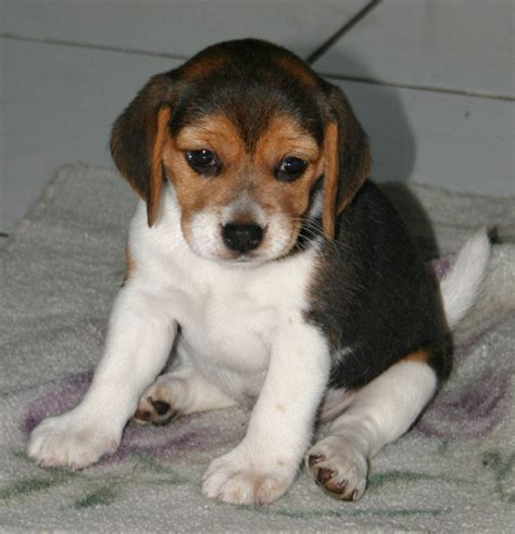 pictures of beagle puppies beagle dogs animals wiki pictures stories