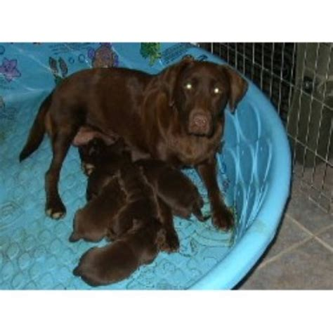 chocolate lab puppies for sale in iowa chocolate lab puppies for sale in virginia