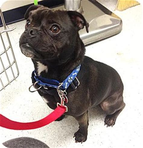 where can i adopt a pug pascal adopted los angeles ca boston terrier