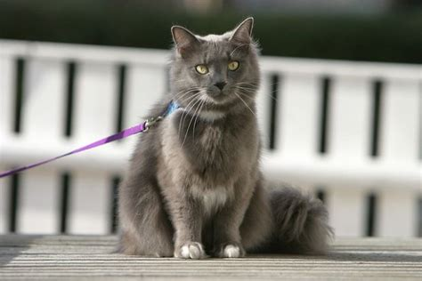 portare il al guinzaglio come portare un gatto al guinzaglio