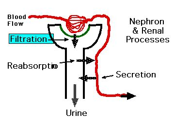 blood in urine after c section renal function