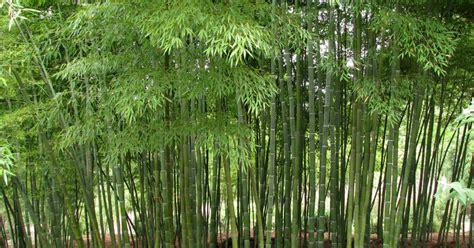 Jual Bambu Panda jual pohon bambu jepang jual bambu kuning jual bambu panda jual bambu petung tukang taman
