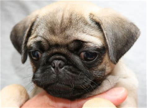 pug puppies wiki image gallery small pug