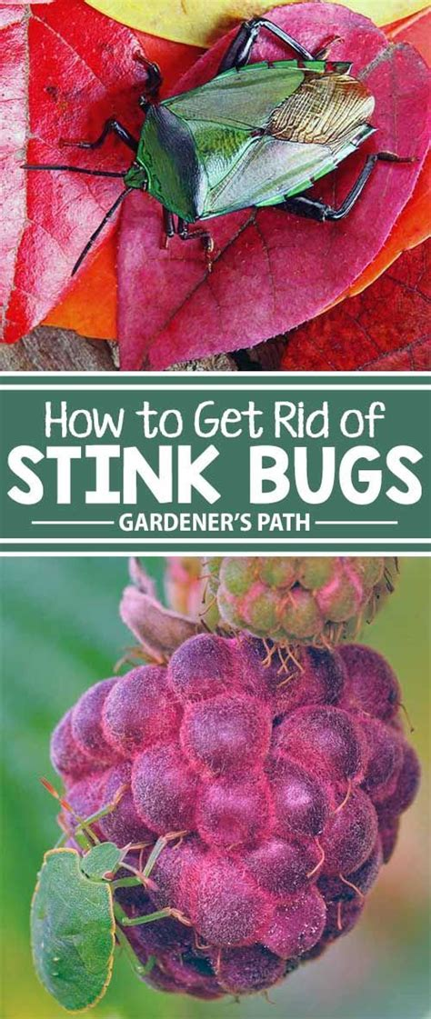how to get rid of backyard bugs best 25 stink bug repellent ideas on pinterest green