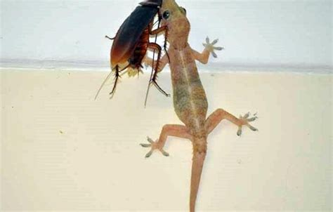 how to get rid of lizards in the house home remedies to get rid of lizards infestation malayalamemagazine