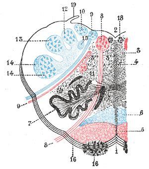 transverse section of medulla oblongata lesson no 20