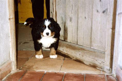 bovaro bernese appartamento cuccioli bovaro bernese