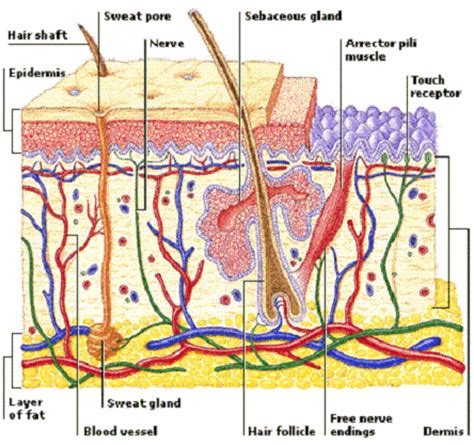 skin layers diagram developing products