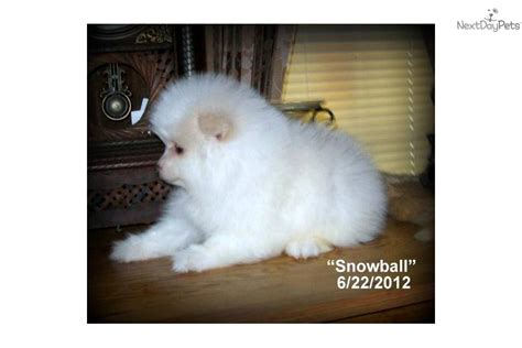 snowball pomeranian beautiful pomeranian puppy for new home breeds picture