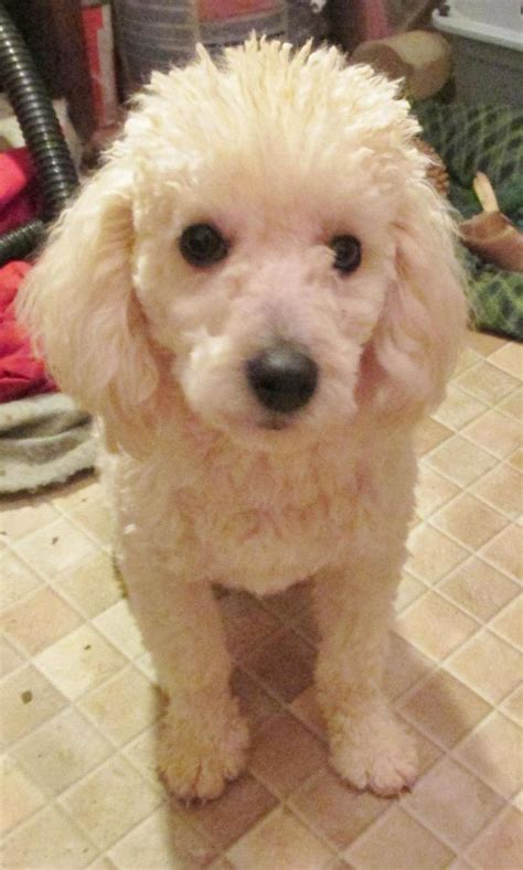 pet haircuts near me best 25 poodle haircut ideas on pinterest poodle teddy