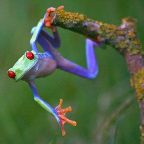Bjeff Frog Handmade 4694 best frogs images on frogs tree frogs and hibians