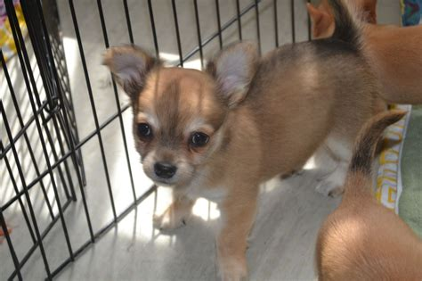chihuahua puppies for sale 1 chihuahua puppies for sale ascot berkshire pets4homes