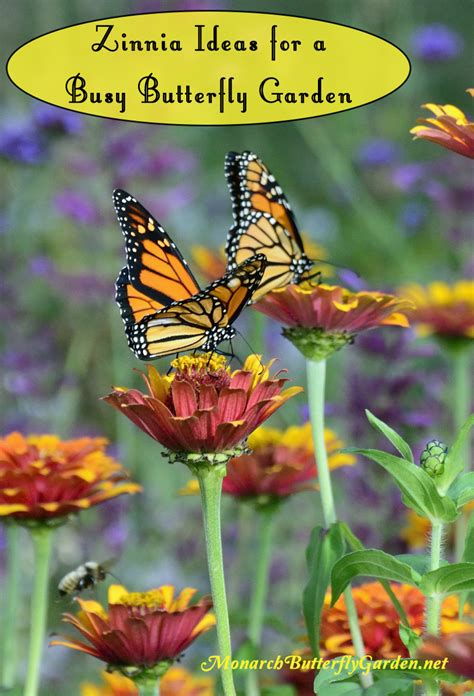 5 big zinnia flowers for busy butterfly garden growing tips