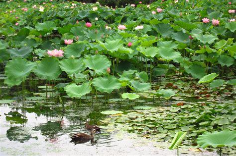 lotus garten of the seasons in japan lotus garden