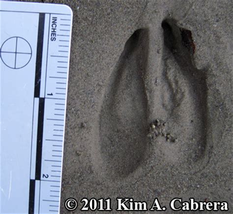 how to your to track deer fawdeer tracks and of the columbian black tailed deer odocoileus hemionus