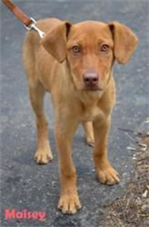 vizsla lab mix puppies take me to your home and me on shelters d