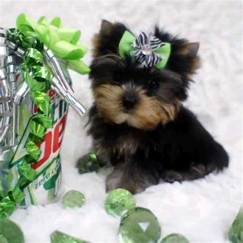micro teacup yorkie yorkies for sale micro teacup yorkie tiny marty