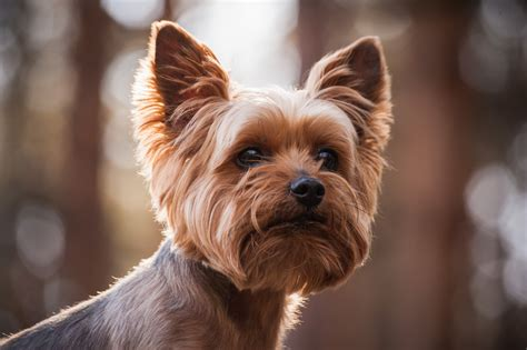 where to get a yorkie puppy wedding planning venues ideas get married in dine