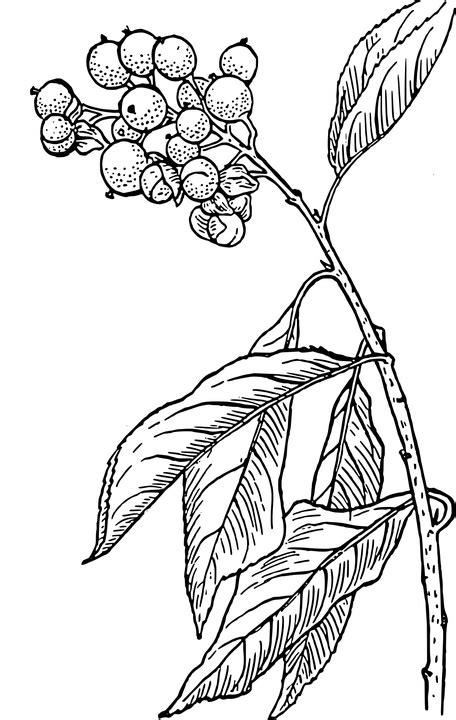 doodle daun free vector graphic plant leaves berries nature free