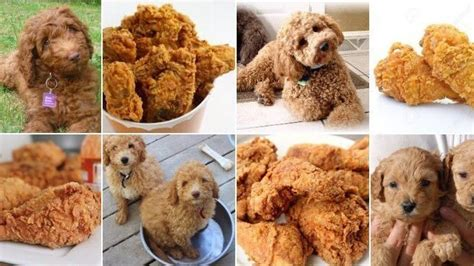goldendoodle food canine or cuisine this photo meme is fetching the salt