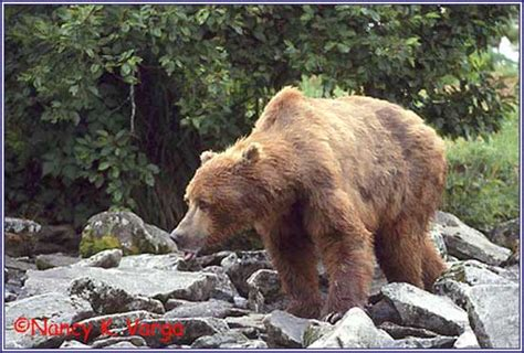 Timothy Treadwell Bear Attack | grizzly attack timothy treadwell