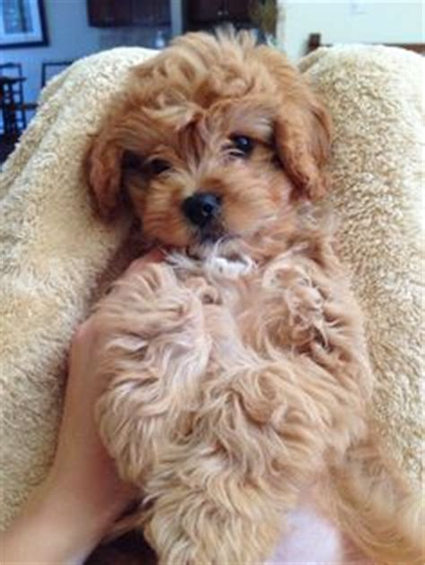 top 10 puppies for families cockapoo puppy ruby cockapoo puppy ruby puppy and