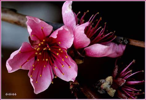 i fiori di pesco fiori di pesco piante da giardino la bellezza dei