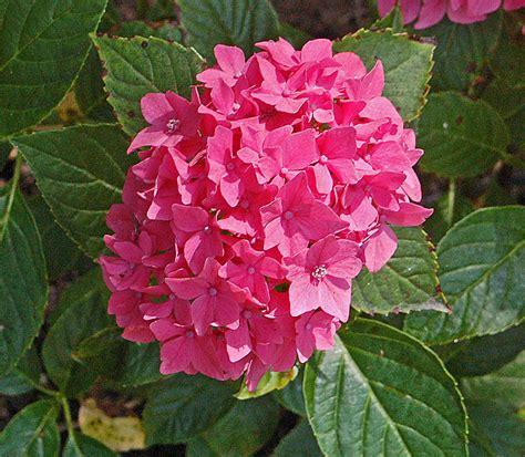 Hydrangea Planter by Plants Flowers 187 Hydrangea Hortensis