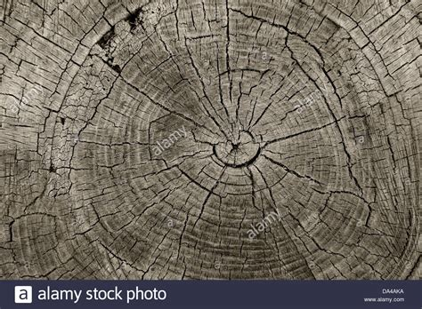 cross sectional cut tree rings old weathered wood texture with the cross
