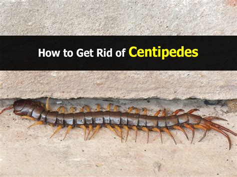 carpenter bees damage house how to get rid of centipedes