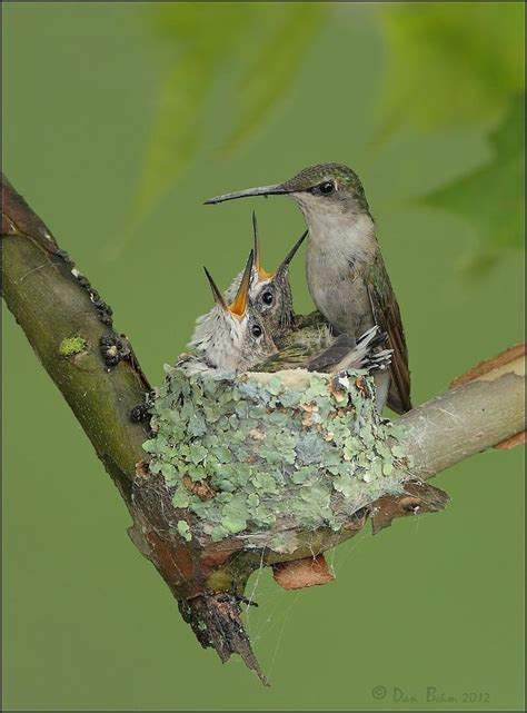 nesting hummingbird family photograph by daniel behm