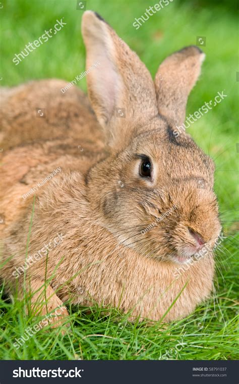 Light Brown Bunny by Light Brown Rabbit Bunny With Ears On Green Grassy