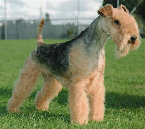 how to get dog hair off the couch lakeland terrier breed guide learn about the lakeland