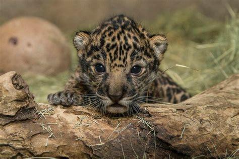 jaguar kitten san diego zoo photos and images abc news