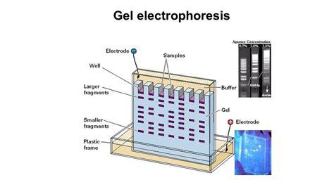 diagram of electrophoresis gel electrophoresis the gel electrophoresis method was