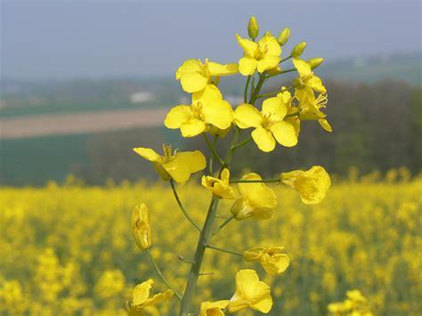 olio di colza alimentare cosmesi naturale spignatto co olio di colza nei cibi