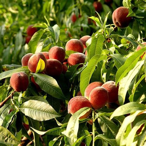 fruit trees for zone 4 17 best images about our fruit trees on trees