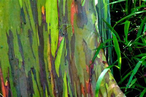 rainbow trees maui mondays rainbow eucalyptus trees