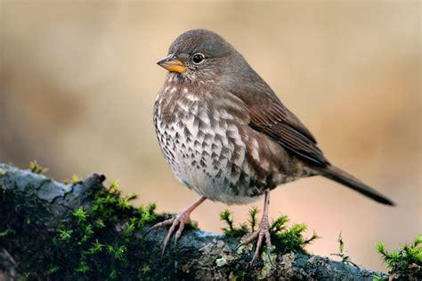 fox sparrow sooty fox sparrow 1