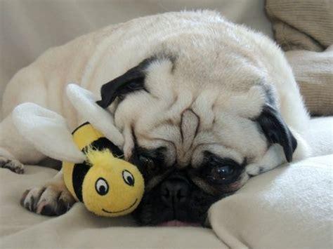 cuddly pug liczba pomysł 243 w na temat kocham na pintereście 17 najlepszych lucille