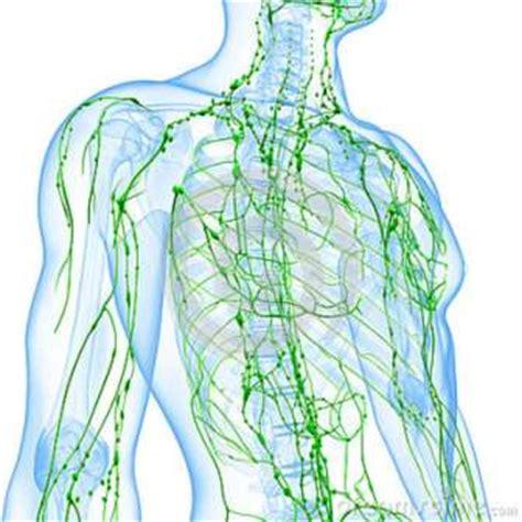 cadenas ganglionares mama sistema linf 225 tico cl 237 nica vascular sp