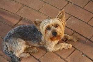Yorkie Rescue Yorkie Rescue Terrier Dogs For Adoption In