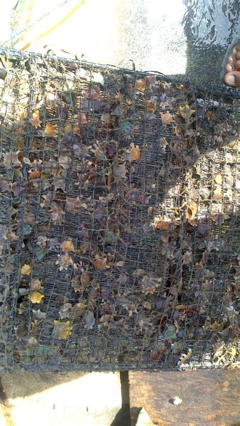 Kerang Mutiara Laut kkp lepas ribuan ekor spat kerang mutiara di perairan