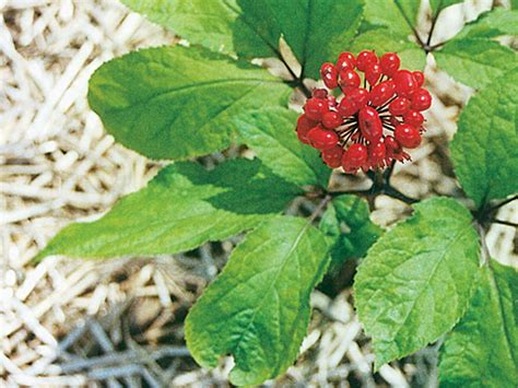 Ginseng Korea korean ginseng herbal remedy to improve memory calmness