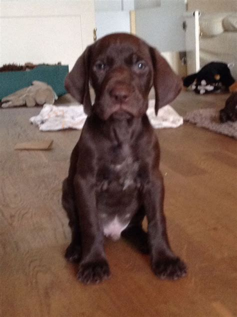 german shorthaired pointer puppies for sale in german shorthaired pointer puppies redhill surrey pets4homes